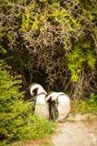 африканский пингвин пар Стоковое Изображение RF
