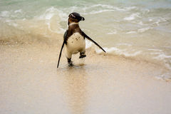 Африканский пингвин представляя на пляже Стоковое Изображение