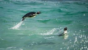 Африканский пингвин Плавать и скакать из воды Стоковое фото RF