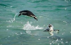 Африканский пингвин скача из воды Стоковые Изображения RF