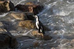 Африканский пингвин стоя на утесе Южной Африке Стоковое Фото