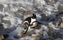 Африканский пингвин стоя на утесе Южной Африке Стоковые Фото