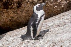 Африканский пингвин, также известный как пингвин jackass или Черноногий Стоковое Изображение