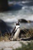 Африканский пингвин, Южная Африка Стоковая Фотография RF