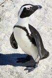 африканский пингвин Стоковое Фото