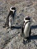 африканский пингвин Стоковое фото RF