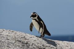 африканский пингвин Стоковая Фотография