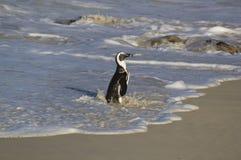 Африканский пингвин Стоковые Изображения