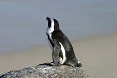 Африканский пингвин Стоковая Фотография RF