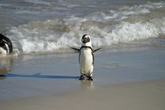 Африканский пингвин Стоковое Изображение RF