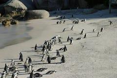 Африканский пингвин Стоковое Изображение
