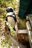 Африканский пингвин Стоковые Фото