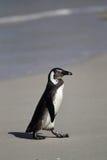 Африканский пингвин (demersus spheniscus) Стоковые Изображения