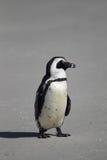 Африканский пингвин (demersus spheniscus) Стоковое Изображение