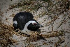 Африканский пингвин jackass лежа на гнезде Стоковые Фотографии RF