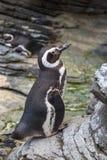 Африканский пингвин, spheniscus Demersus, также известное как пингвин Jackass Стоковое Изображение RF