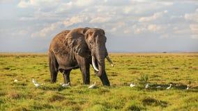 Африканский питаться africana Loxodonta слона куста, есть траву от земли, некоторое летание в воздухе, с белыми птицами цапли вок стоковое фото