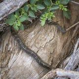 Африканский питон утеса в национальном парке Kruger, Южной Африке стоковое изображение