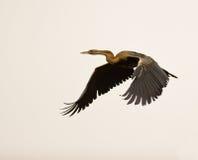 африканский полет darter Стоковые Изображения RF