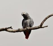 Африканский попугай красного кабеля стоковые фотографии rf