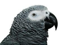 африканский попыгай серого цвета детали стоковая фотография