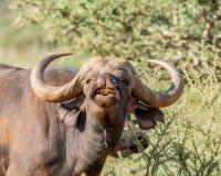африканский портрет буйвола Стоковая Фотография RF