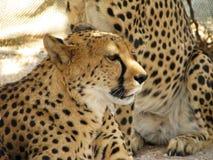 африканский портрет гепарда Стоковое фото RF