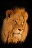 африканский портрет льва Стоковое Изображение RF