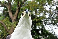 Африканский портрет орла рыб (vocifer Haliaeetus) Стоковая Фотография RF