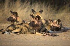 Африканский портрет одичалой собаки Стоковое Изображение RF