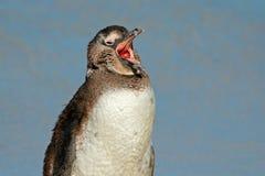 африканский портрет пингвина Стоковое Изображение RF