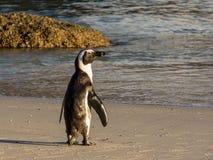 африканский портрет пингвина Стоковая Фотография RF