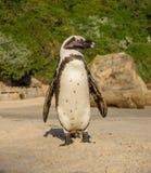 африканский портрет пингвина Стоковые Фото