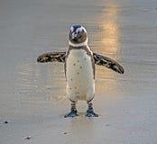 африканский портрет пингвина Стоковые Изображения RF