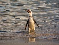 африканский портрет пингвина Стоковое фото RF