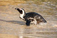 африканский портрет пингвина Стоковая Фотография