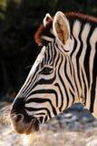 Африканский портрет стороны зебры Стоковое Изображение RF