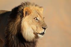 африканский портрет льва Стоковая Фотография
