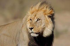 африканский портрет льва Стоковое фото RF