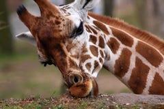 Африканский подавать жирафа Стоковое фото RF