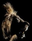 африканский профиль мужчины льва стоковое фото rf