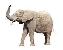 африканский путь слона клиппирования Стоковая Фотография