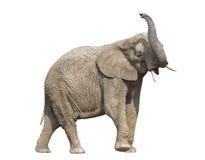 африканский путь слона клиппирования Стоковые Изображения