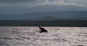 Африканский Рыб-орел, vocifer haliaeetus, взрослый в полете, рыба в когтях, удя на озере Baringo, Кения, видеоматериал