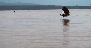Африканский Рыб-орел, vocifer haliaeetus, взрослый в полете, рыба в когтях, удя на озере Baringo, Кения, акции видеоматериалы