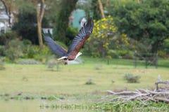 Африканский Рыб-орел улавливая рыбу стоковое изображение rf