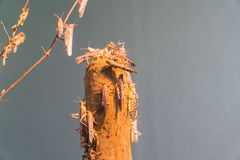 африканский саранчук пустыни Стоковое фото RF