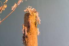 африканский саранчук пустыни Стоковое Изображение RF