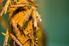 африканский саранчук пустыни Стоковые Фотографии RF