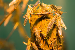африканский саранчук пустыни Стоковые Изображения RF